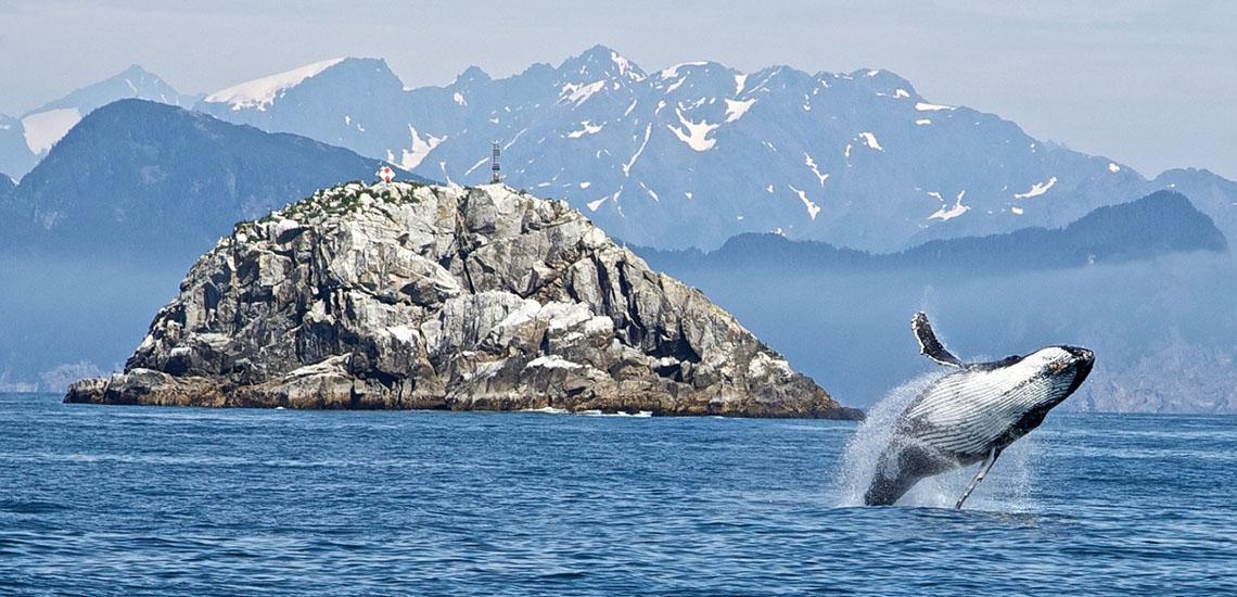 Alaska humpback whale breaching