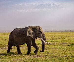Elephant in front of Mount Kilamanjaro