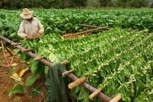 Cuba tobacco farm