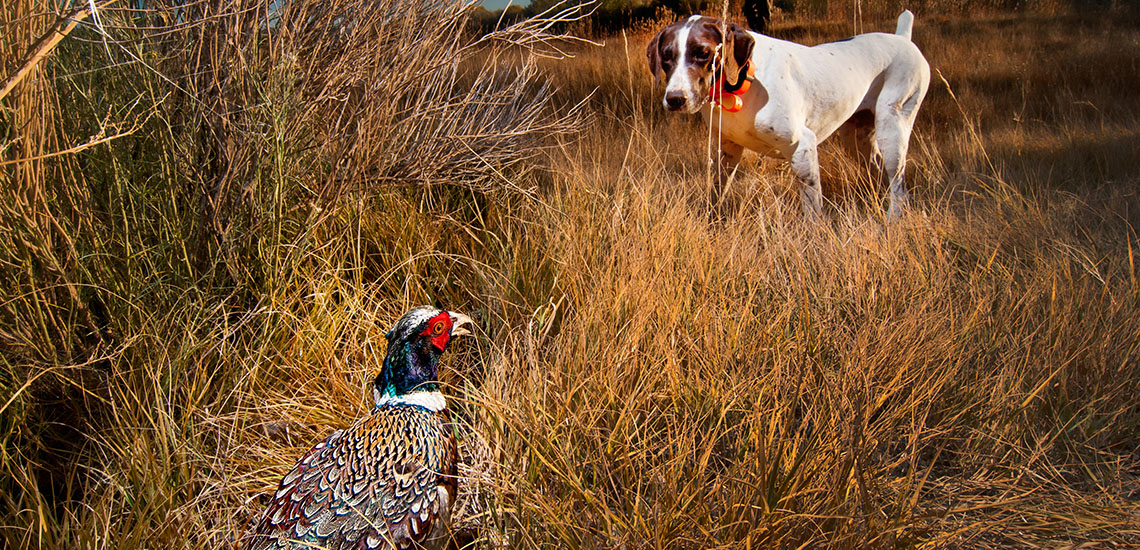Pheasant hunting dog on point