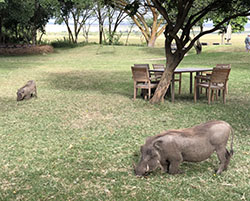 Warthogs at Kitchwa Tembo